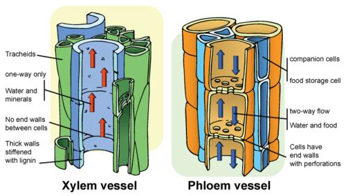 Permanent Tissues Learnplus